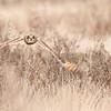 Short-eared Owl, Asio flammeus 5507