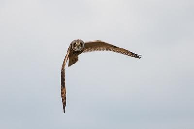 Short-eared Owl, Asio flammeus 5517