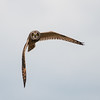 Short-eared Owl, Asio flammeus 5517