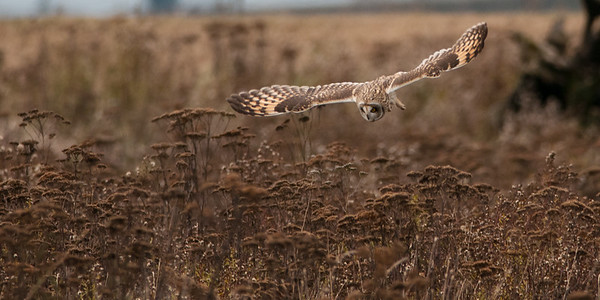 Short-eared Owl, Asio flammeus 4937