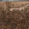 Short-eared Owl, Asio flammeus 4937