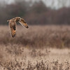 Short-eared Owl, Asio flammeus 5101