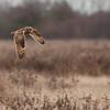 Short-eared Owl, Asio flammeus 5101