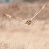 Short-eared Owl, Asio flammeus 5657