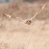 Short-eared Owl, Asio flammeus 5657