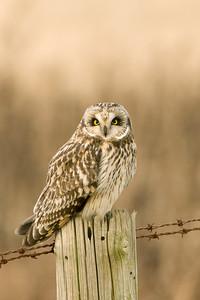 Short-eared Owl, 3467, Asio flammeus