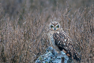 Short-eared Owl, Asio flammeus 4454