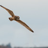 Short-eared Owl, Asio flammeus 5485