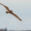 Short-eared Owl, Asio flammeus 5485