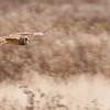 Short-eared Owl, Asio flammeus 5410