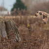 Short-eared Owl, Asio flammeus 4948