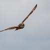 Short-eared Owl, Asio flammeus 5516