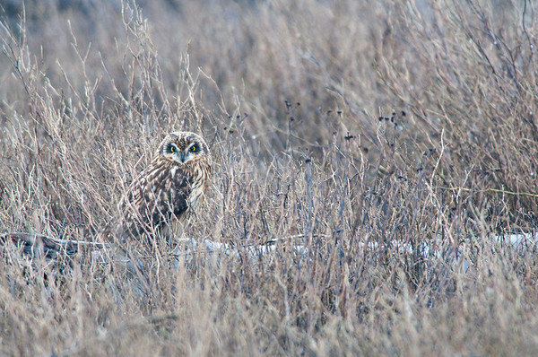 Short-eared Owl, 3868  Asio flammeus