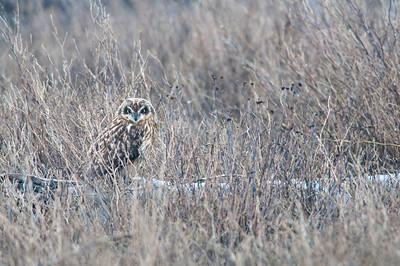 Short-eared Owl, 3868  Asio flammeus
