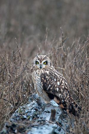 Short-eared Owl, Asio flammeus 4423
