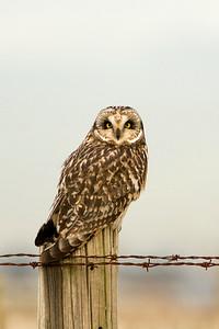 Short-eared Owl, 3342l, Asio flammeus