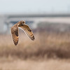 Short-eared Owl, Asio flammeus 5696