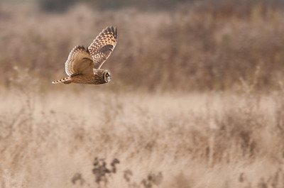 Short-eared Owl, Asio flammeus 5708