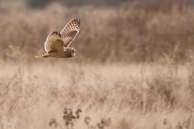Short-eared Owl, Asio flammeus 5708
