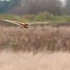 Short-eared Owl, Asio flammeus 5430