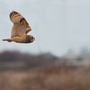 Short-eared Owl, Asio flammeus 5699