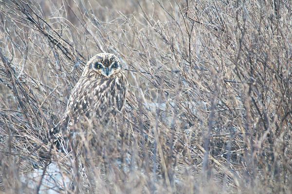 Short-eared Owl, 3992  Asio flammeus