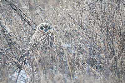 Short-eared Owl, 3992  Asio flammeus