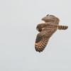 Short-eared Owl, Asio flammeus 5530