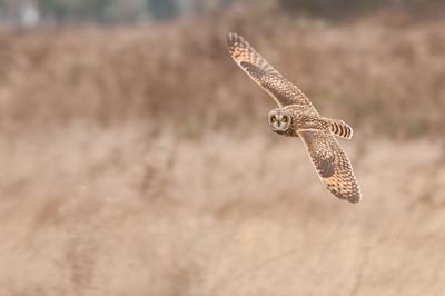 Short-eared Owl, Asio flammeus 5535