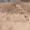 Short-eared Owl, Asio flammeus 5535
