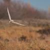 Short-eared Owl, Asio flammeus 5021