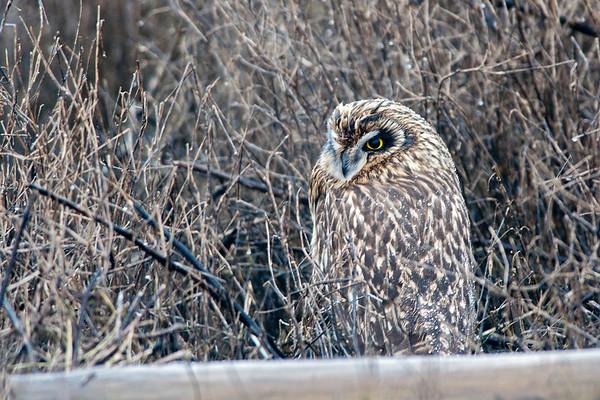 Short-eared Owl, Asio flammeus 3762