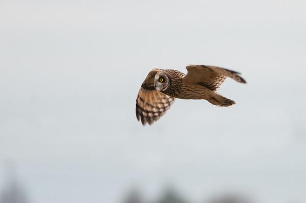 Short-eared Owl, Asio flammeus 5578