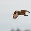 Short-eared Owl, Asio flammeus 5578