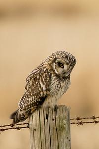 Short-eared Owl, Asio flammeus 3485