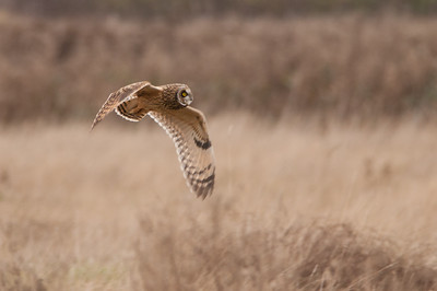 Short-eared Owl, Asio flammeus 5555