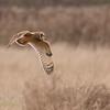 Short-eared Owl, Asio flammeus 5555