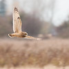 Short-eared Owl, Asio flammeus 5433