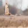 Short-eared Owl, Asio flammeus 5433