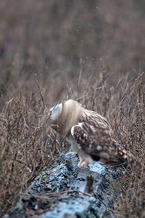 Short-eared Owl, Asio flammeus 4393