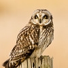 Short-eared Owl, Asio flammeus 3525