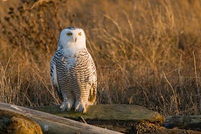 Snowy Owl, Nyctea scandiaca 5318