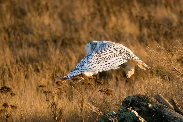 Snowy Owl, Nyctea scandiaca 5202