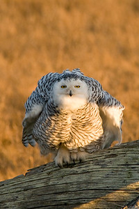 Snowy Owl, Nyctea scandiaca 5286