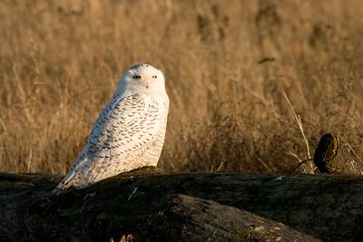 Snowy Owl, Nyctea scandiaca 4601