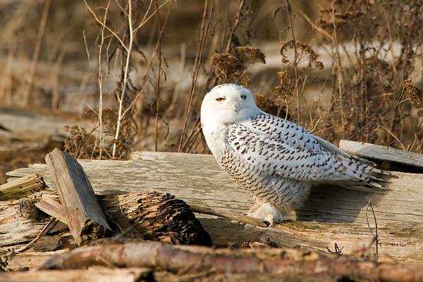 Snowy Owl, Nyctea scandiaca 3988