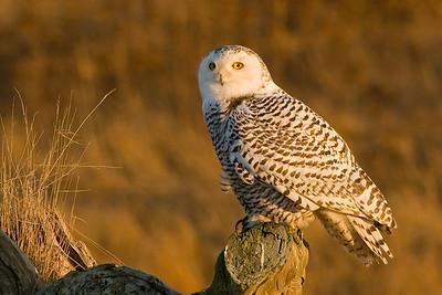 Snowy Owl, Nyctea scandiaca 5273