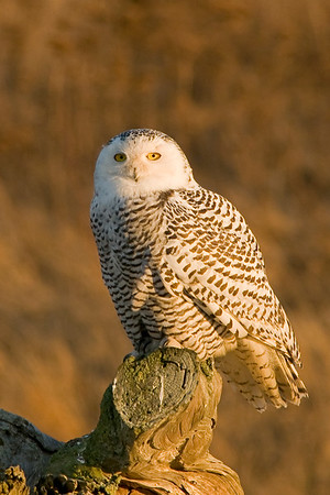Snowy Owl - Nyctea scandica- One of the larger owls of North America, they derive there name from their snow white  appearance and the environment they live. They nest during the short Arctic summers usually  on the ground. They feed on a variety of prey from, voles and lemmings, to rabbits and birds.  Male birds will be almost pure white, while females will retain some black markings. Snowy Owl, Nyctea scandiaca 5264