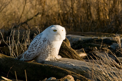 Snowy Owl, Nyctea scandiaca 4526