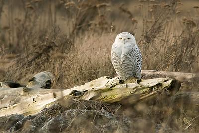 Snowy Owl, Nyctea scandiaca 3279